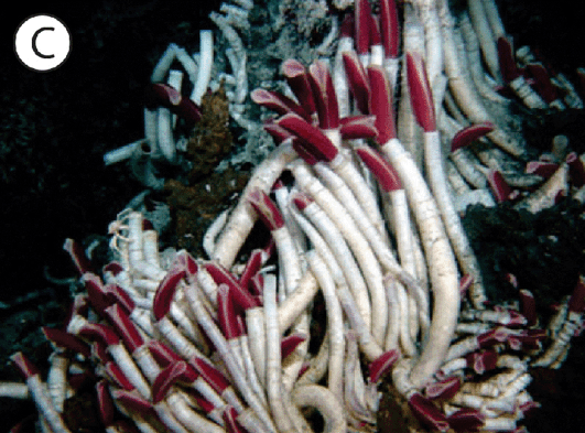 Chemosynthesis in tubeworms